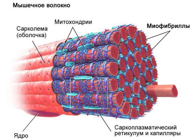 Микроархитектура мышечного волокна.