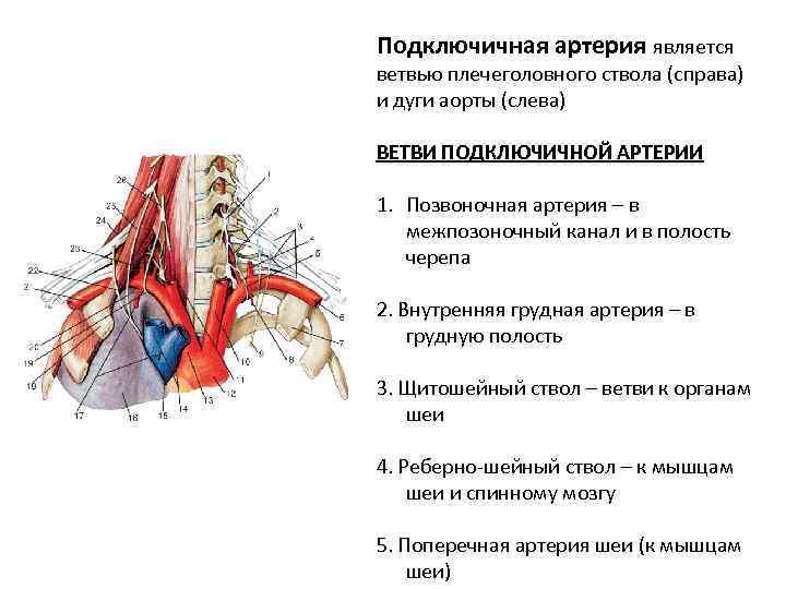 Анатомия подключичной артерии