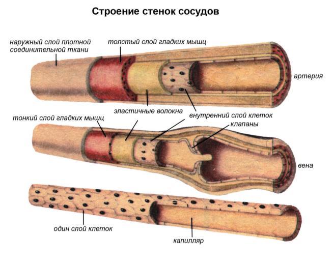 Стенки кровеносных сосудов